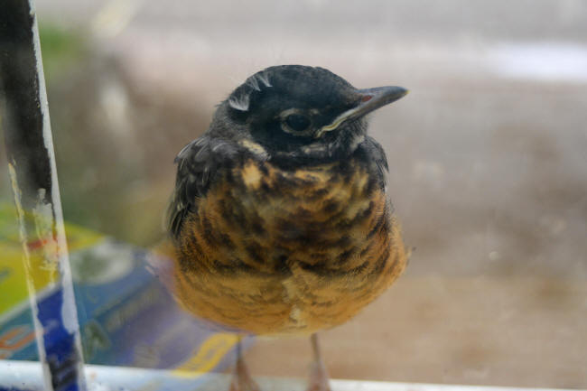 Young Robin on shop window